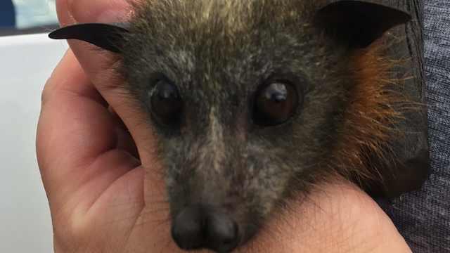 """澳洲高温大量蝙蝠""""被煮熟"""""""