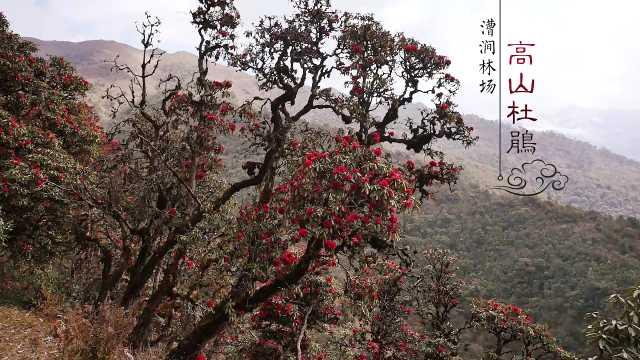 漕涧林场之高山杜鹃