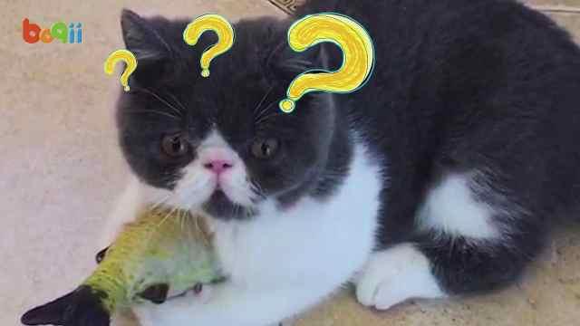 当猫遇上猫薄荷……