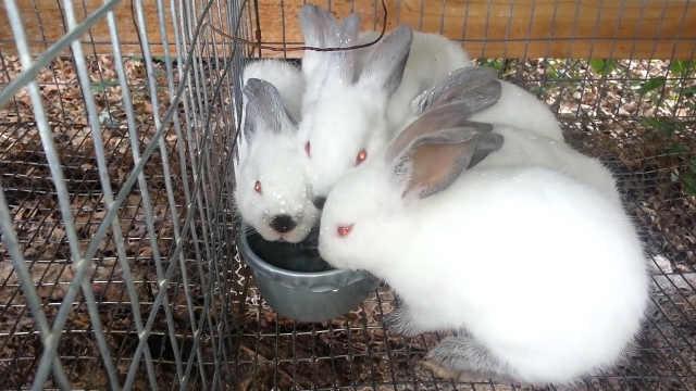 为什么兔子喝水就会立马断肠而亡?