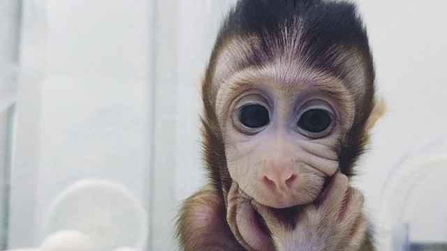 中科院突破体细胞克隆猴世界难题