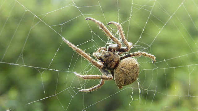 蜘蛛饿死也不跑去别的蜘蛛网偷吃?