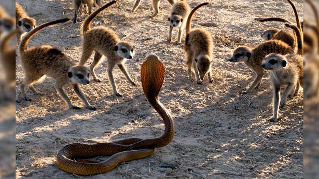 非洲狐獴VS眼镜蛇,到底谁会赢?