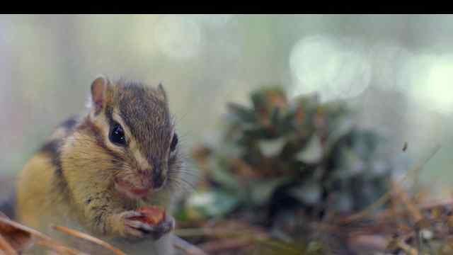 森林间的小心机:精明美食家小松鼠