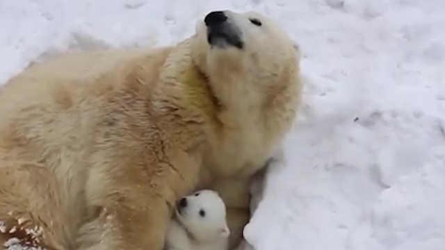 气候变化导致北极熊数量迅速减少