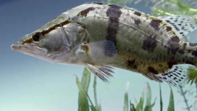 江湖里的追逐:以爆发力取胜的鳜鱼