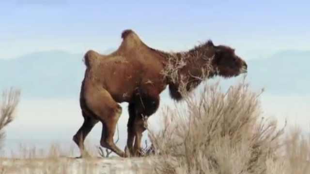为什么骆驼可以不吃不喝一个月?