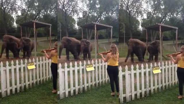 大象也爱音乐,听到小提琴声就跳舞