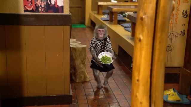 这家餐厅真大胆,请猴子当服务员