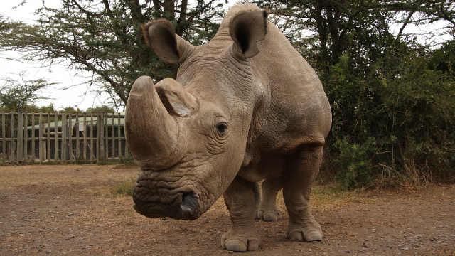 世界最后一只雄性北方白犀牛安乐死