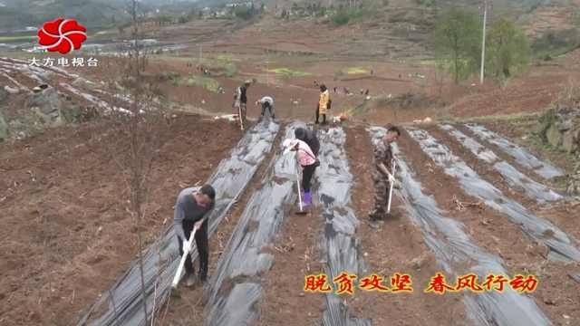 大方县黄泥塘镇吹响辣椒种植集结号