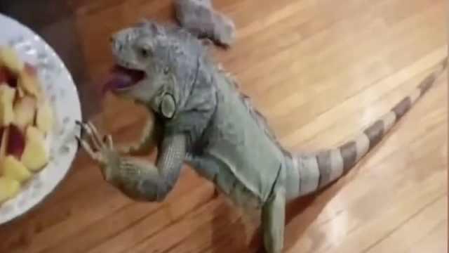 养只蜥蜴啥体验?画风略诡异