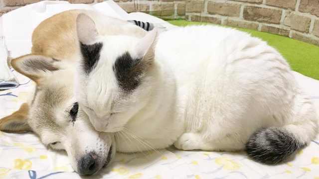柴犬患重病,痴情猫咪一直暖心陪伴