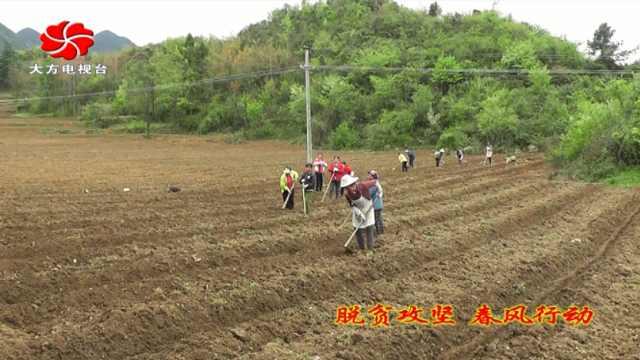 大方县达溪镇辣椒种植助农增收