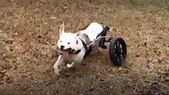 狗狗下肢瘫痪,装上轮椅后重获新生