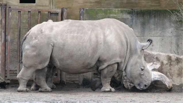 世界上最后一头雄性北方白犀牛去世