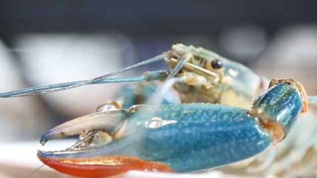 蓝色小龙虾,又大又鲜