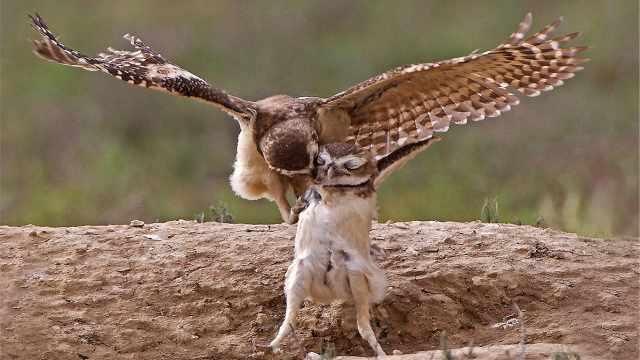 小猫头鹰长大后会弑父,是真的吗?