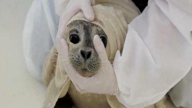 小海豹吃药:眼泪汪汪,好苦不吃!