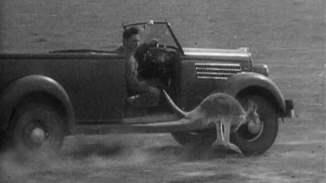 开车追袋鼠,袋鼠拼命跳最终累瘫