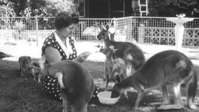 爱心夫妇在后花园收养了许多袋鼠