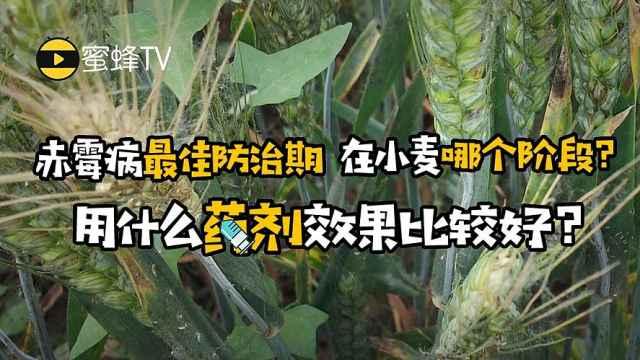 小麦赤霉病最佳防治期及用药须知