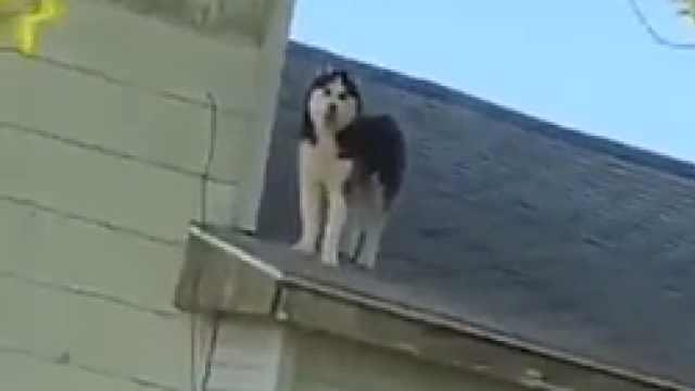 主人回家见二哈站屋顶上,简直要疯