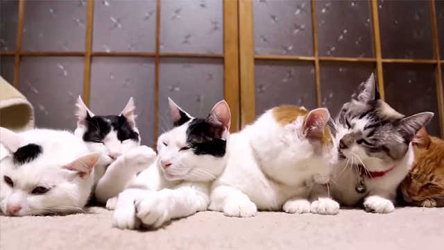 猫片:猫咪为啥爱舔自己和互舔?