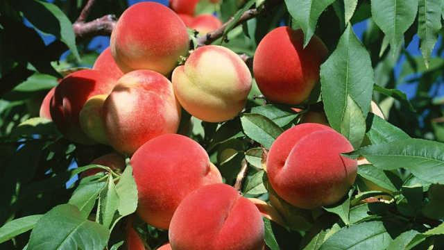正值吃桃好季节,食疗搭配巧养生!