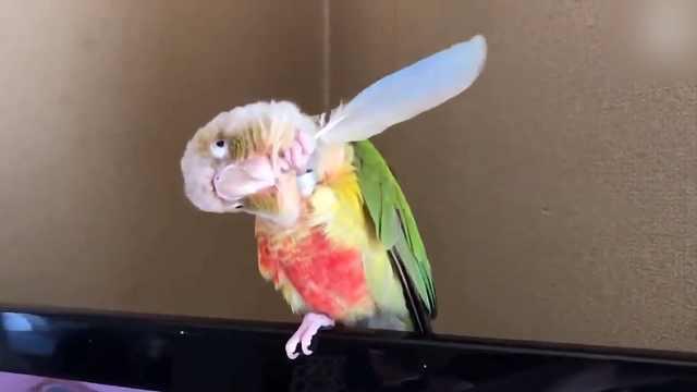 鹦鹉揪羽毛挠痒痒?怕是要成精了