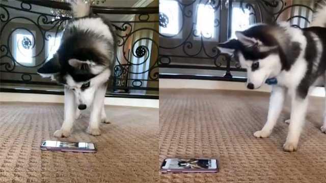 看到手机里的自己,狗狗一脸疑惑!