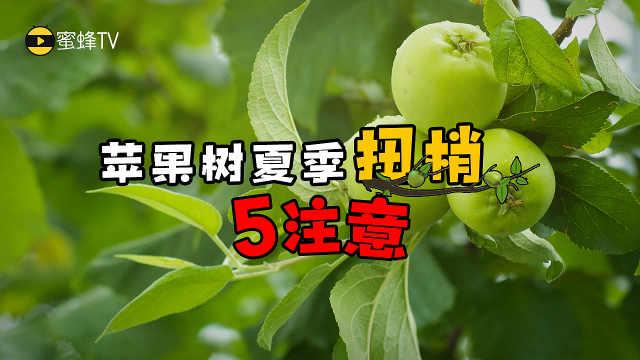蜜蜂TV:苹果树夏季扭梢注意事项