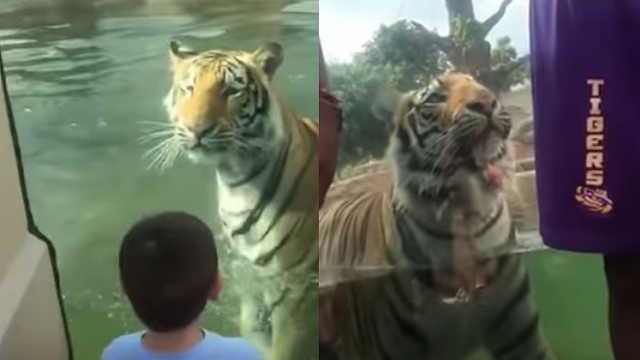 虎视眈眈!老虎偷袭背对它的游客