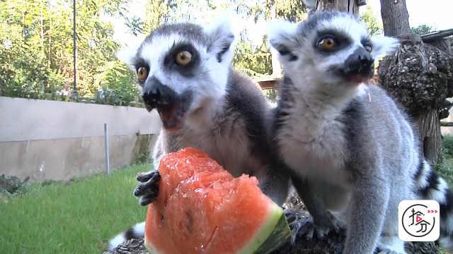 酷暑来临,看动物园如何帮动物降温