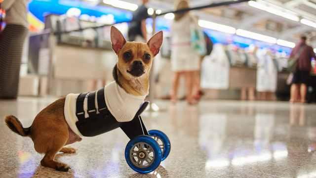 天生残疾,两条腿的狗依然努力奔跑