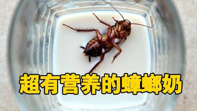 美国科学家竟在蟑螂身上发现蟑螂奶