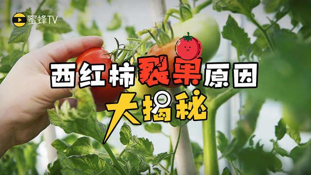 三分钟看懂西红柿裂果原因!