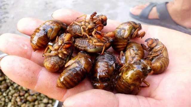 长期吃炸金蝉,身体会有哪些变化?