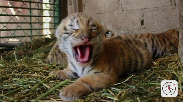 小老虎走路晕乎,却能找到妈妈喝奶
