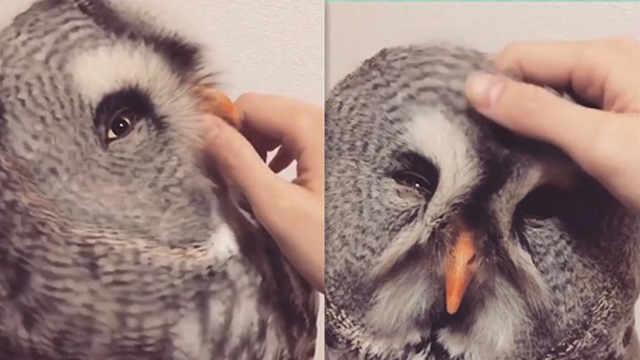 养只猫头鹰是什么体验?可爱到犯规