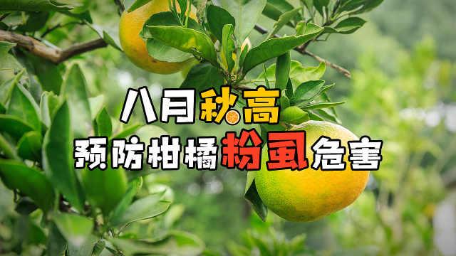 8月柑橘粉虱大军来袭,要小心了