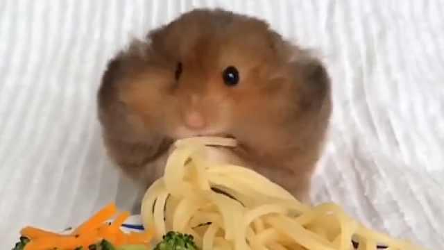 小仓鼠神速吃东西,看完超满足