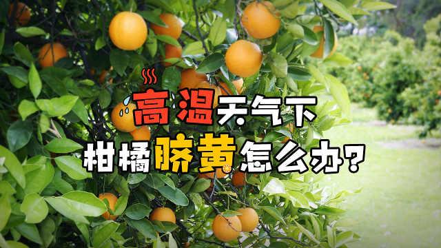 柑橘脐黄落果,脐腐裂口怎么办?