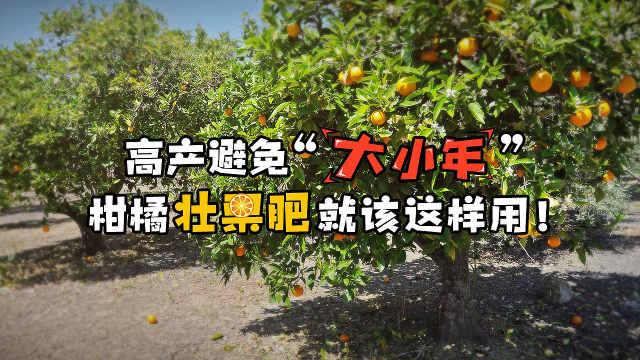 避免大小年,柑橘壮果肥就该这样用