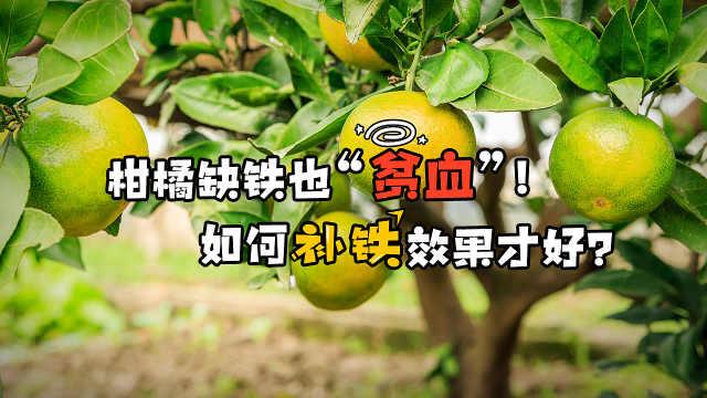 柑橘缺铁也贫血,如何快速补回来?