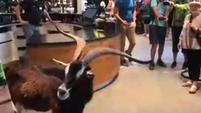 山羊闯入商店吹空调,引客人围观