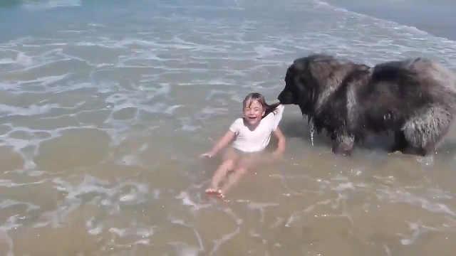 小主人下海玩水,大狗一直寸步不离