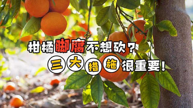 柑橘得了脚腐病只能砍树?未必!