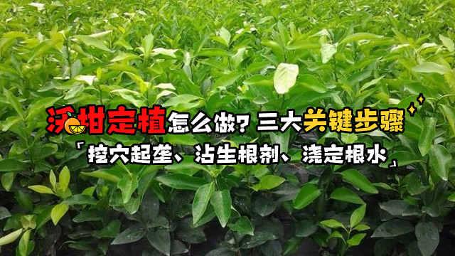 想要丰产,做好沃柑苗定植是基础