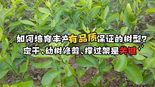 种植沃柑必备的树型培育技术讲解
